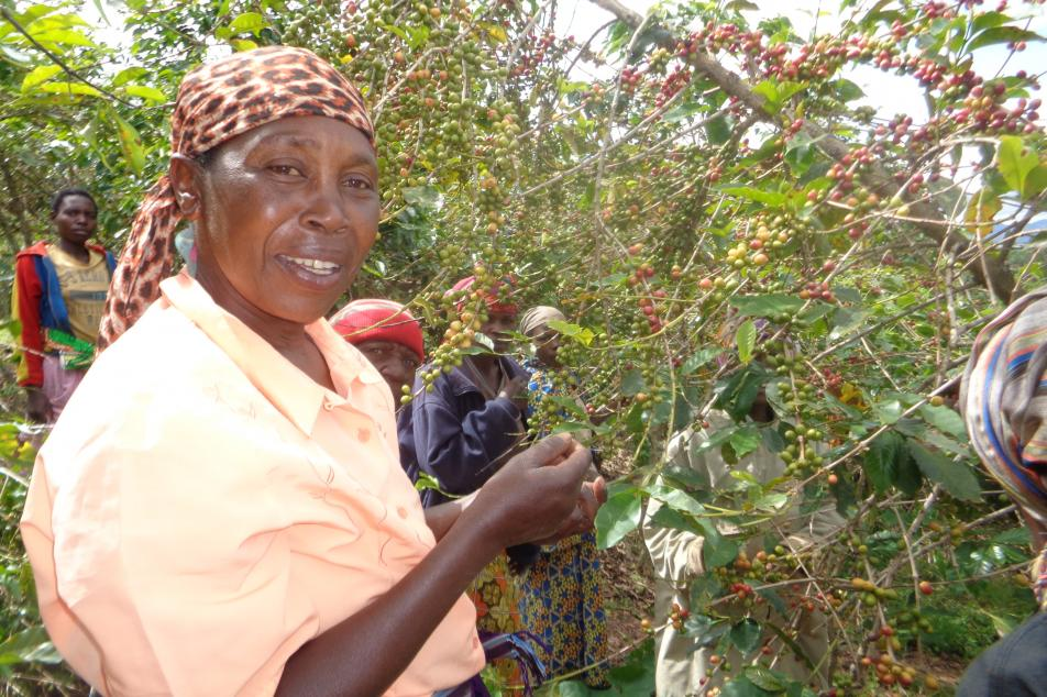 Female farmer picking coffee cherry from tree